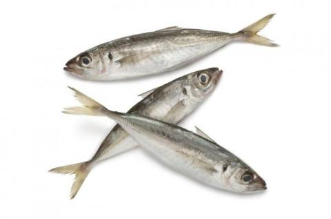 Frozen Horse Mackerel Trachurus Trachurus Whole Round or HGT A Grade Various Brands