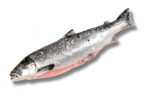 Frozen Salmon Atlantic or Pacific Whole, Fillets, Portions or Blocks A Grade Various Brands